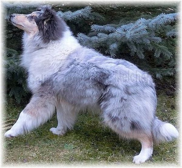 Collie long haired in Blue Merle