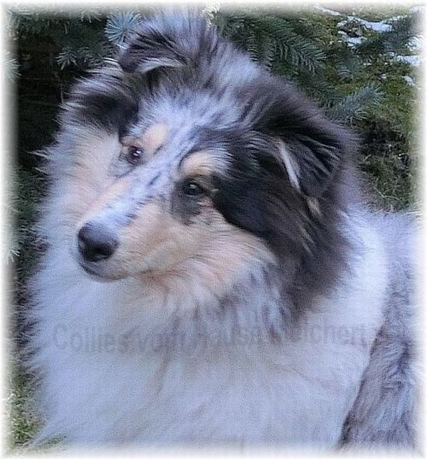Collie Rüde