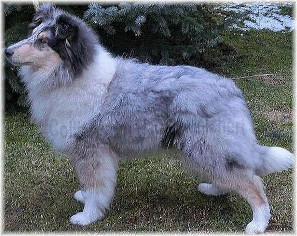 Collie Rüde in blue merle