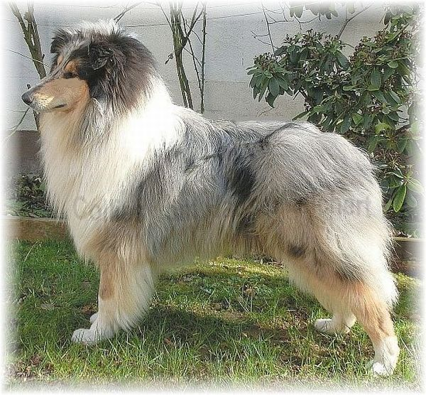 Blue merle Collie Rüde