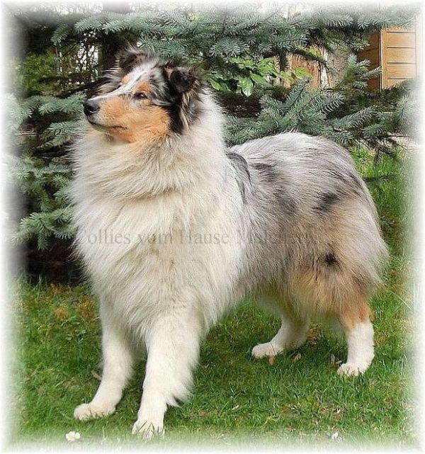 Colliehündin in blue merle