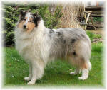 Collie Hündin in Blue merle