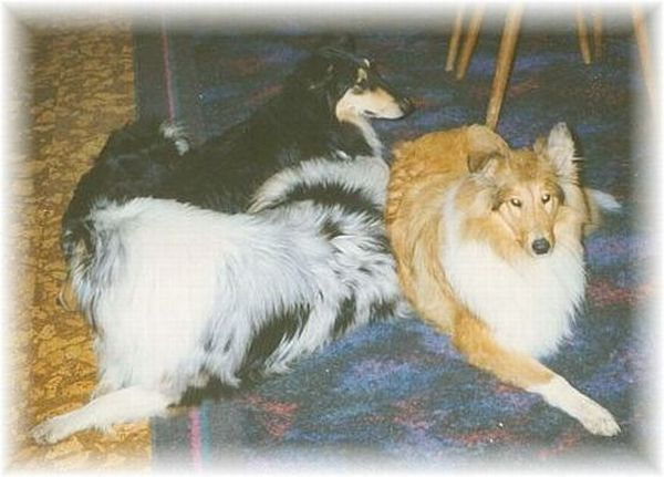 Meine Collies