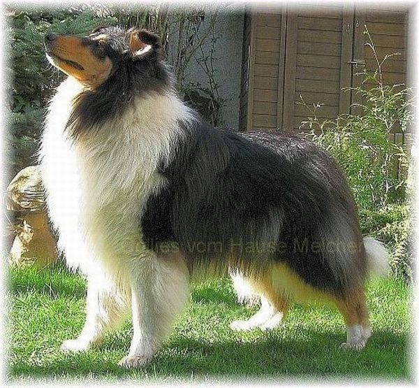 Collie Rüde in tricolor