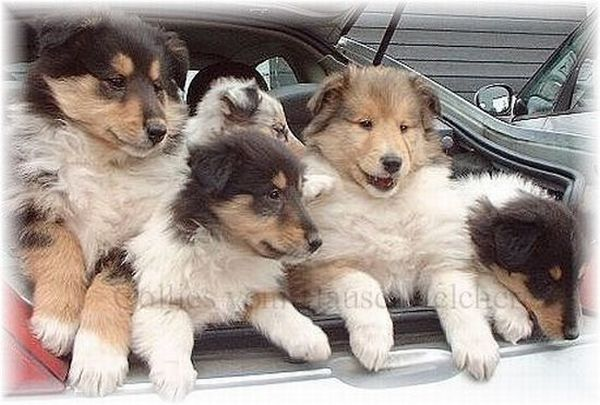 Collies im Auto