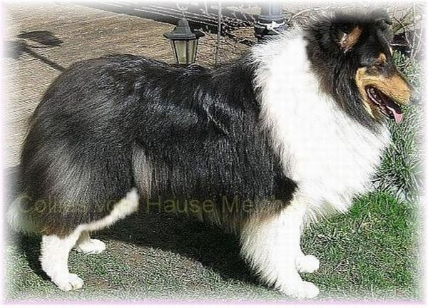 Collie Hündin tricolour