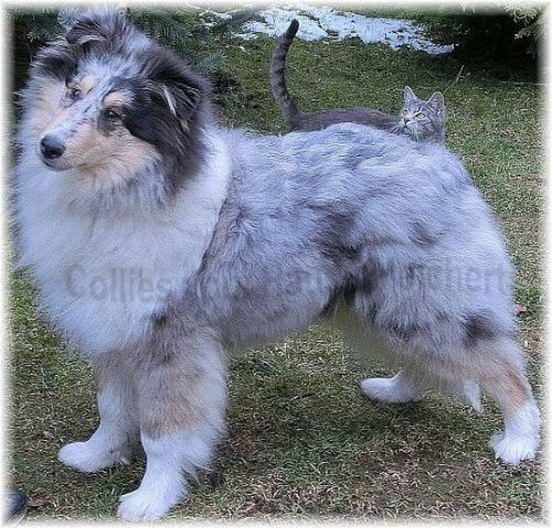 Blue Merle Collie / Bayern