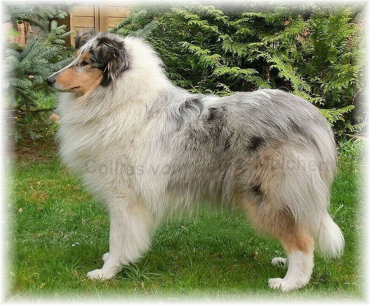 Blue Merle Colliehündin