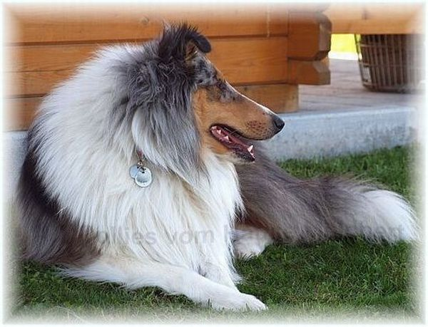 blue merle Collie Amerikaner