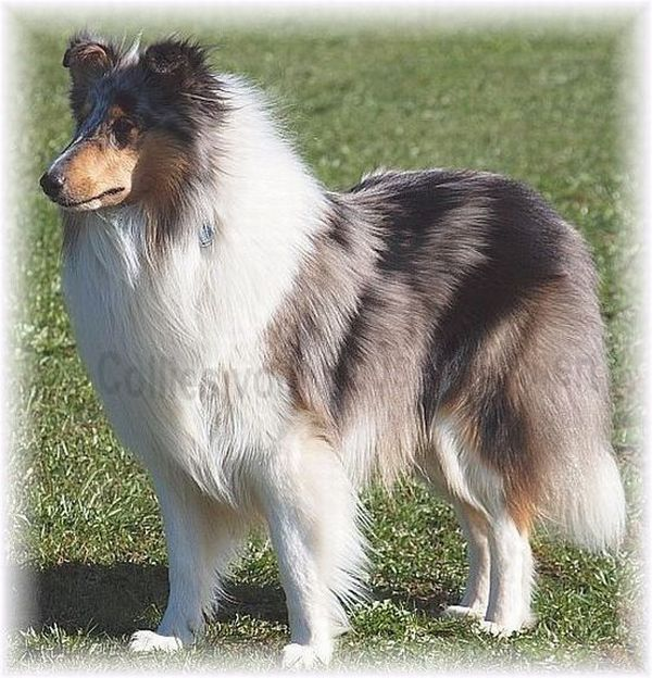 blue merle Langhaar Collie
