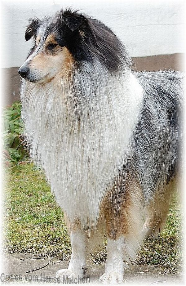 Langhaar Collie Rüde