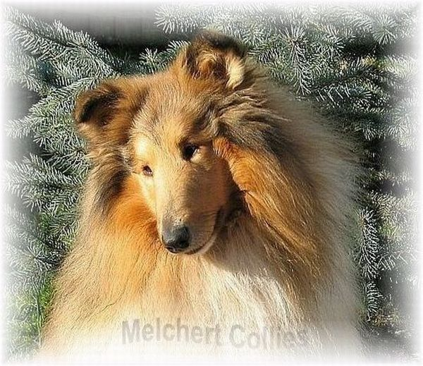 Collie Kopf