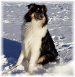 Collie tricolour