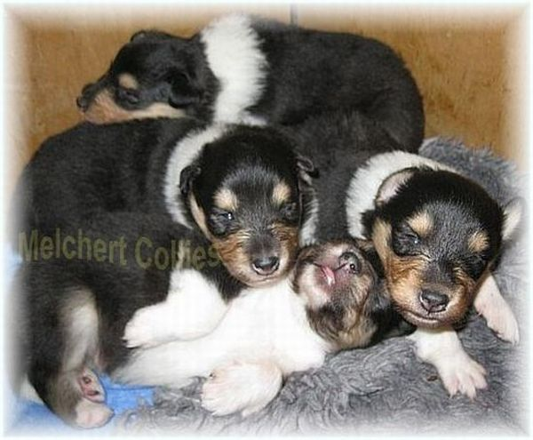 Collie Puppies from breeder in Germany