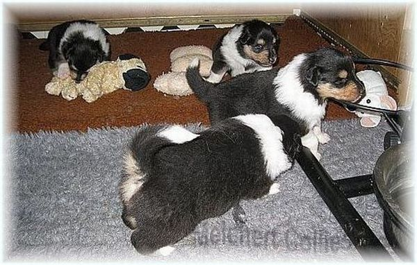Puppies from Melchert Collies