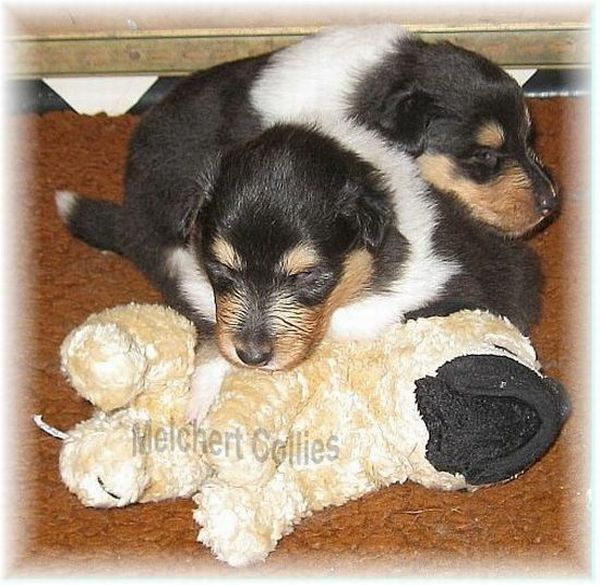 Collie Puppies from Hause Melchert
