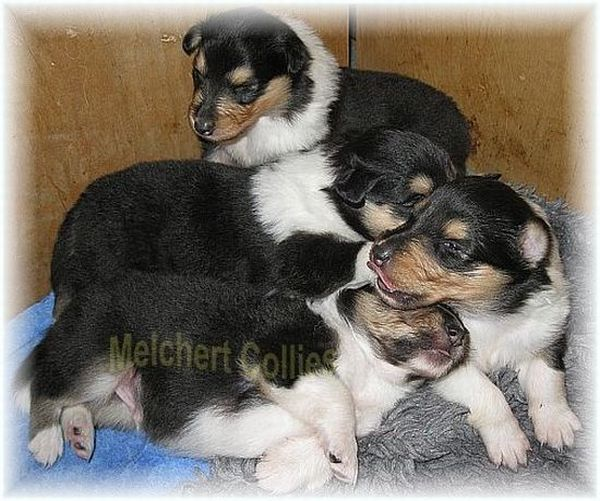 Collie Puppies tricolour