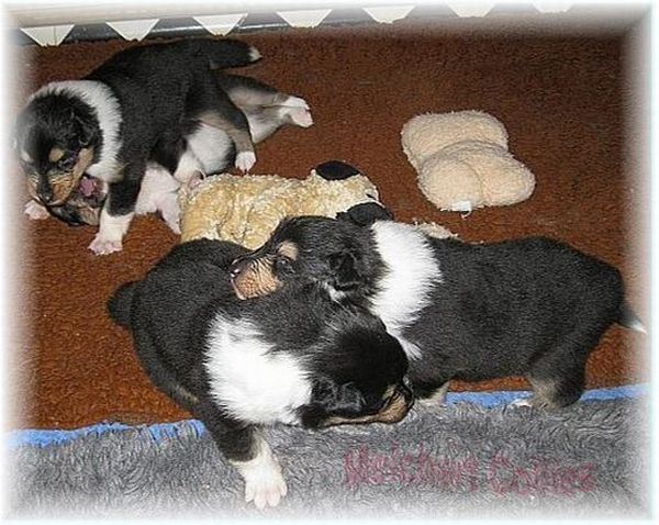 Collie Puppies in tricolour