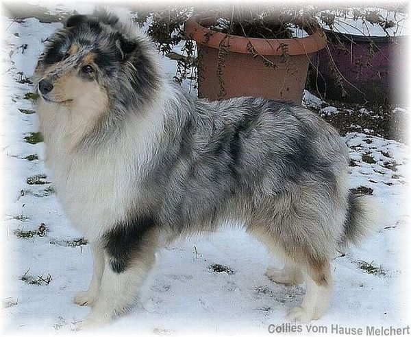 Blue Merle Collie Welpe