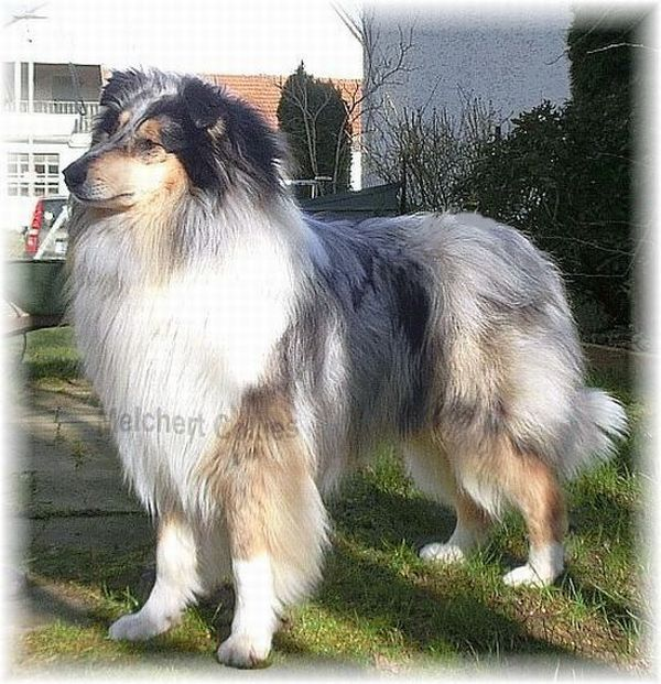 Blue Merle Rough Collie Dog