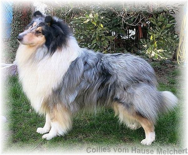Collie Zuchtrüde blue merle