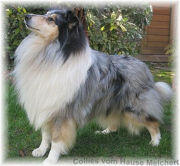 Collie Rüde blue merle