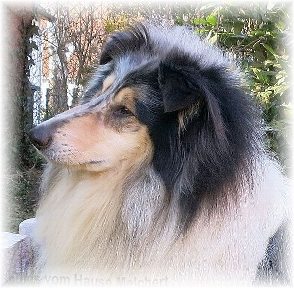 Langhaar Collie blue merle