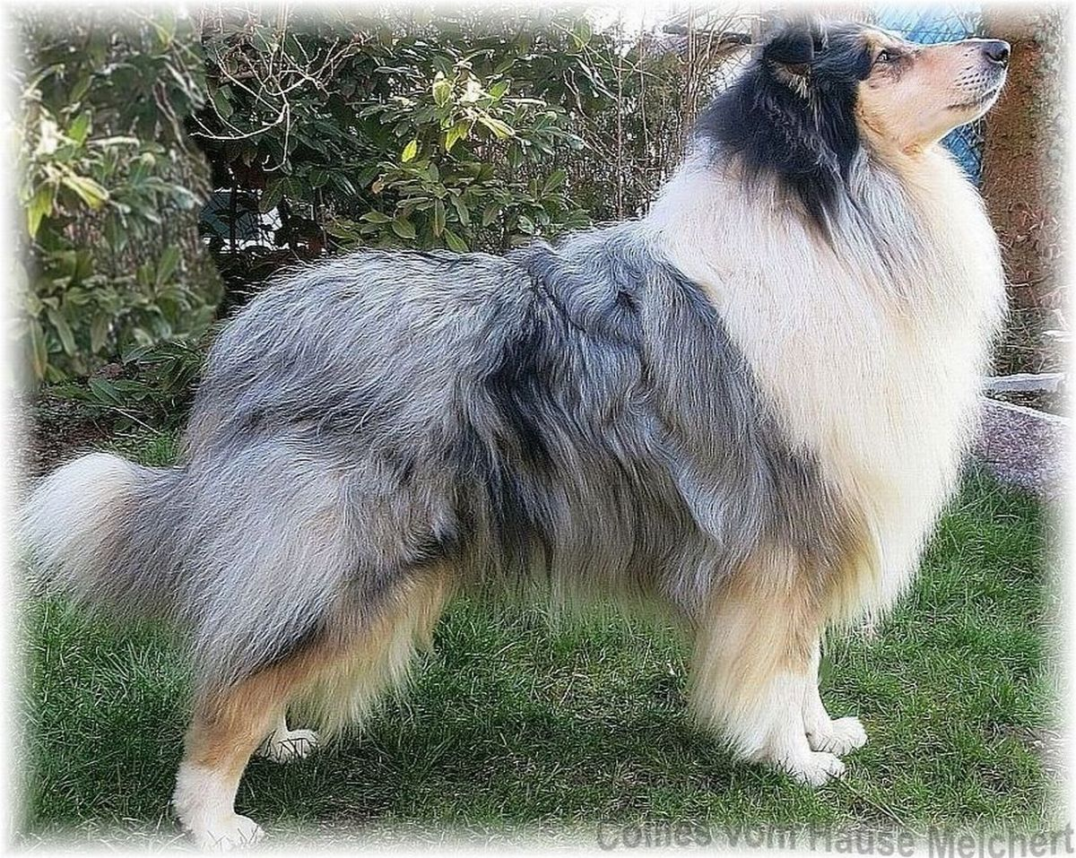 Collie in der Farbe blue merle