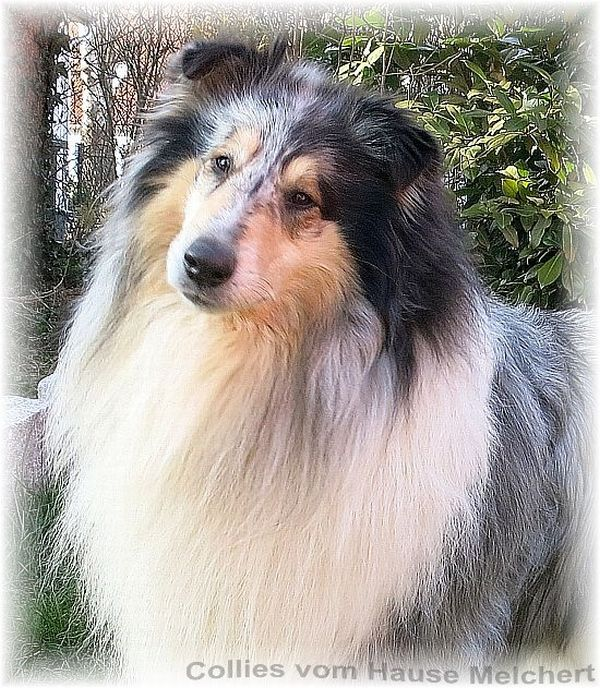 Deckrüde Collie