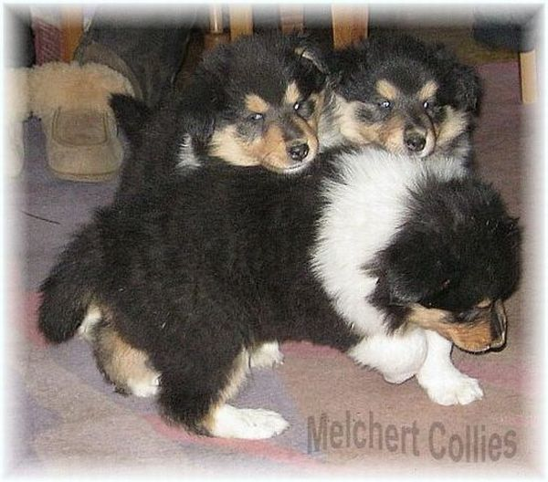 Tricolour Collie Welpen