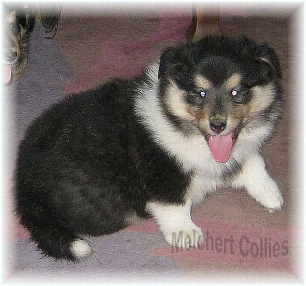 Tricolor Collie Welpe