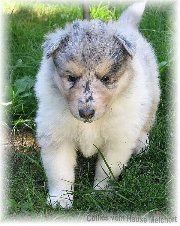 Blue Merle Colliewelpe