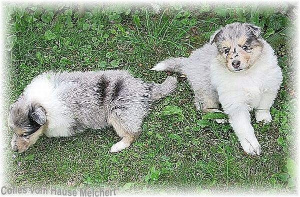 blue merle Collie Welpen