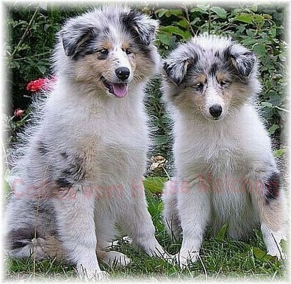 Melchert Collies in blue merle