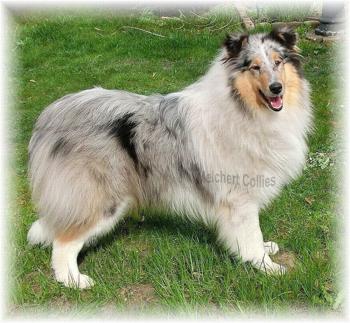 Blue Merle Collie Hündin