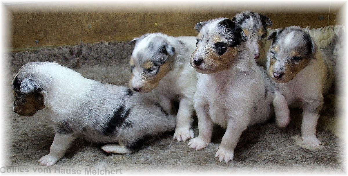 Collie Welpen in blue merle