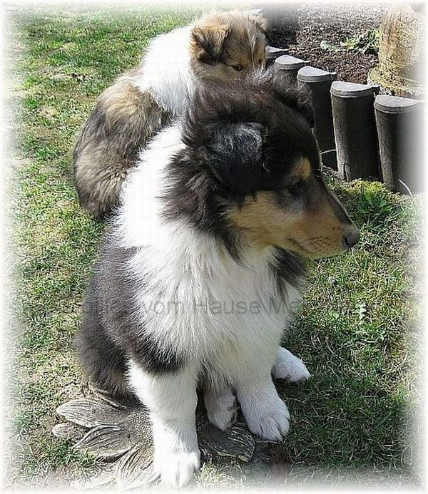 Colliewelpe tricolor