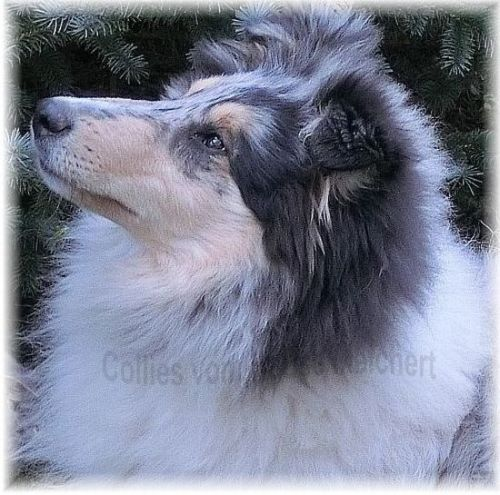 Blue Merle Dog Male