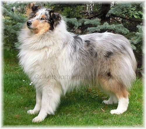 Collie Hündin Blue Merle