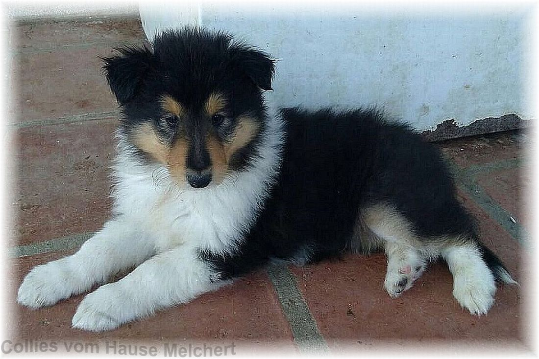 Tricolour Collie